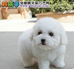 沈阳顶尖犬舍出售卷毛比熊犬 体型合适保证品质