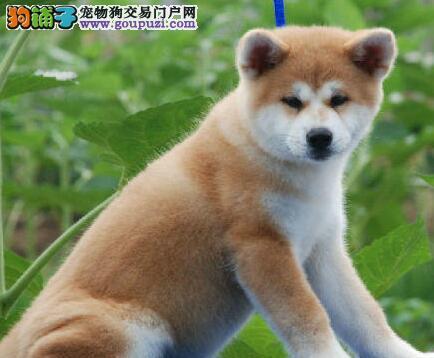 怎样喂养两个月大的秋田犬