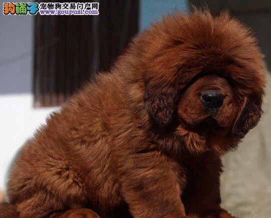 上海犬业直销纯种藏獒保证健康欢迎您上门看狗