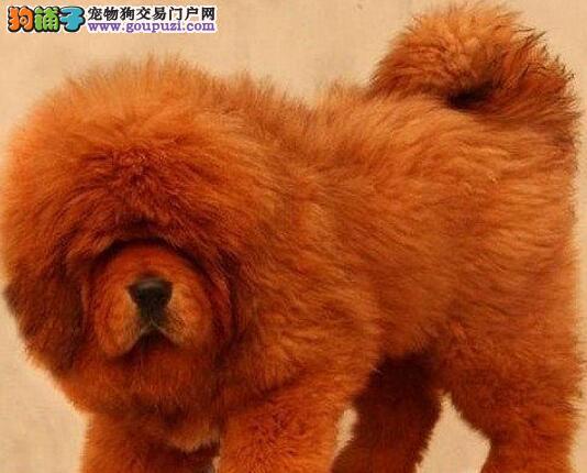 杭州出售双血统名獒, 藏獒幼犬公母全有可挑选