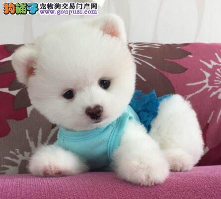正规犬舍热卖哈多利博美犬郑州市区购犬送狗粮