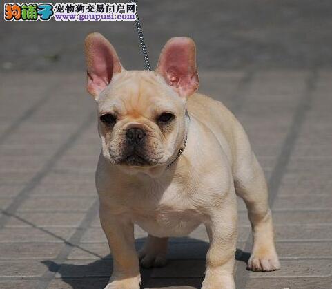 福州自家狗场繁殖直销法国斗牛犬幼犬可以送货上门3