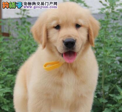 双血统大骨架金毛幼犬出售 纯种健康 公母都有 欢迎上门挑选