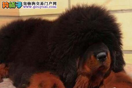 成都售纯种健康大狮头长毛藏獒藏獒幼犬