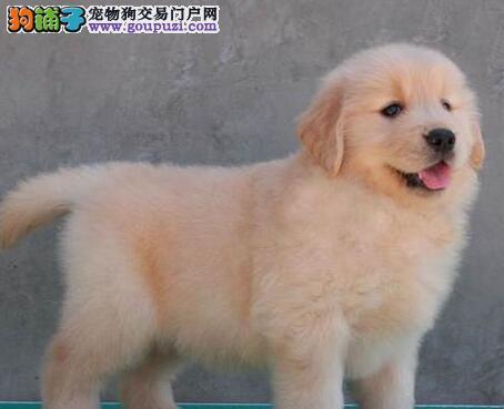 镇江售赛级双血金毛黄金猎犬幼犬疫苗驱虫齐全欢迎选购
