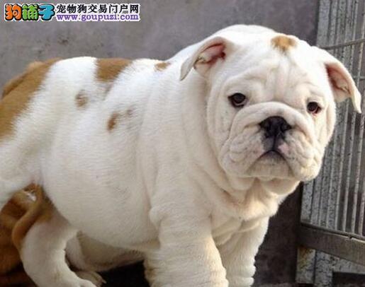 八折出售广州斗牛犬 驱虫疫苗做完 请您放心选购3