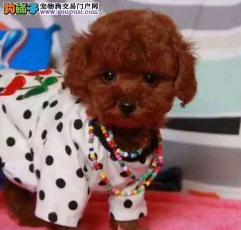 上海地区出售各色贵宾都按时打过疫苗