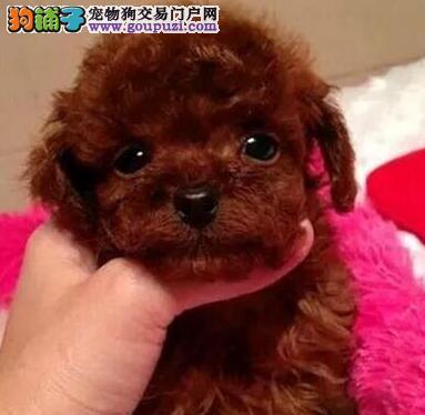 苏州正规犬舍繁殖韩系泰迪犬 低价出售品质优秀保健康