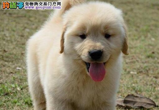 日常生活中如何让金毛犬远离中暑情况