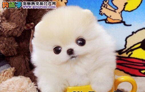 南宁大型犬舍直销出售爆毛量博美犬 纯种健康质保三年