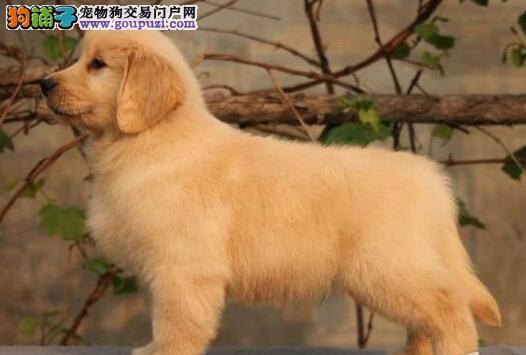 双血统金毛幼犬出售 大骨架宽嘴巴 颜色正 周边可送货