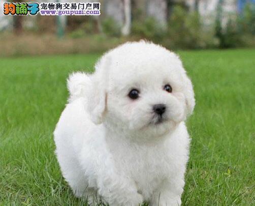 西安小体精品泰迪犬超级萌萌哒 价格公道 性价比超高