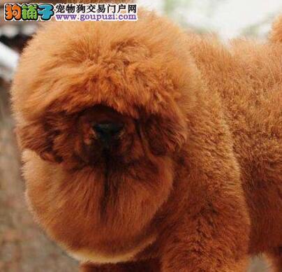 出售精品狮王血系郑州藏獒 保证售后有质量三包