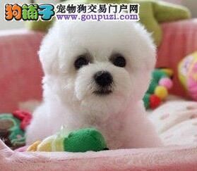 南昌自家繁殖多只比熊犬出售保纯种可见父母