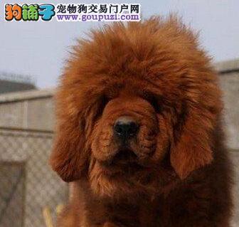 大型獒园出售顶级南昌藏獒大骨架售后有保证