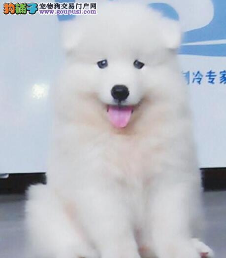 保纯保健康赛级萨摩耶 萨摩幼犬成都出售