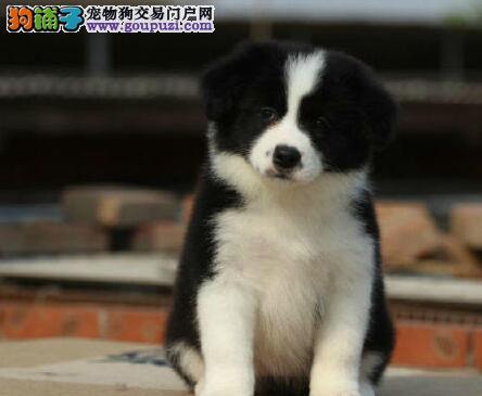 广州售高品质边牧、边境牧羊犬 基地直销保健康