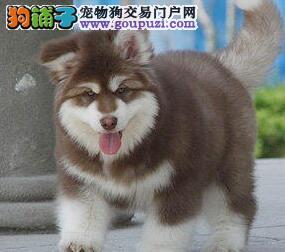 繁育基地直销南昌阿拉斯加雪橇犬终身质保