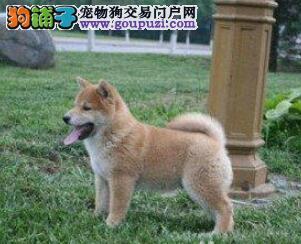 青岛出售秋田犬幼犬品质好有保障一宠一证视频挑选