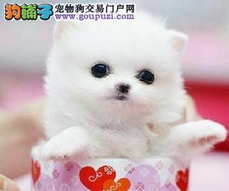 低价促销哈多利版博美犬 武汉周边地区可免费送上门