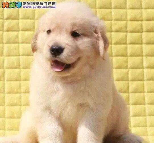 广州出售纯种金毛价格合理正规犬舍买放心宠物狗金毛