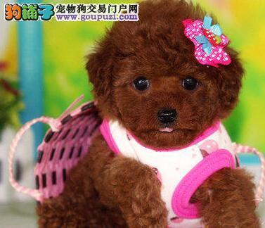 CKU犬舍认证出售高品质郑州泰迪犬上门可见父母1