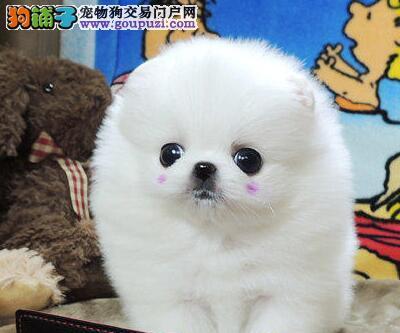 可爱乖巧活泼美丽 毛线球般微笑精灵 哈多利博美犬出售