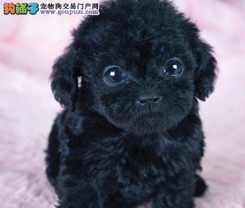 CKU犬舍认证出售高品质郑州泰迪犬上门可见父母2