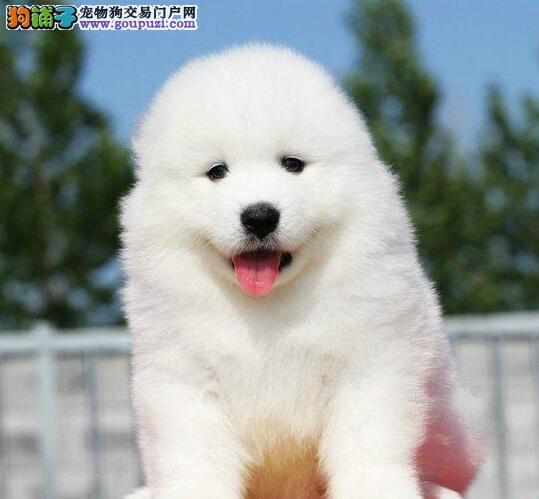 北京正规犬舍出售微笑天使萨摩耶犬 可送萨摩上门售后