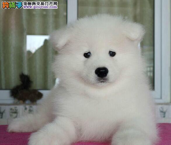 出售萨摩耶专业缔造完美品质优惠出售中狗贩子勿扰