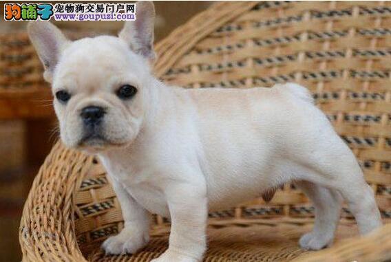 优质斗牛犬热销 北京养殖基地专业繁殖出售有防疫证明