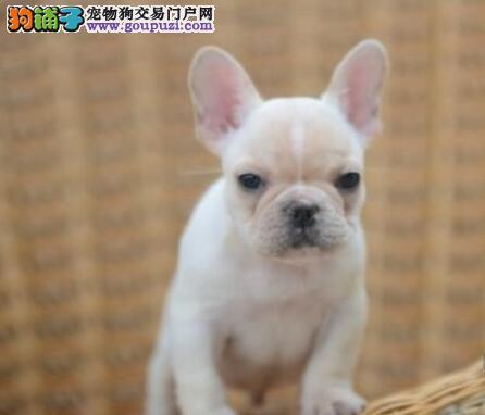 纯种法国斗牛犬幼犬、品质第一价位最低、可送货上门