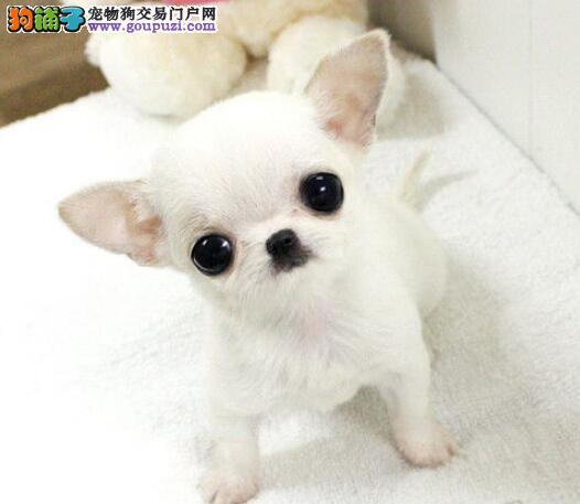 品相好疫苗全的石家庄吉娃娃幼犬 上门送全套宠物用品