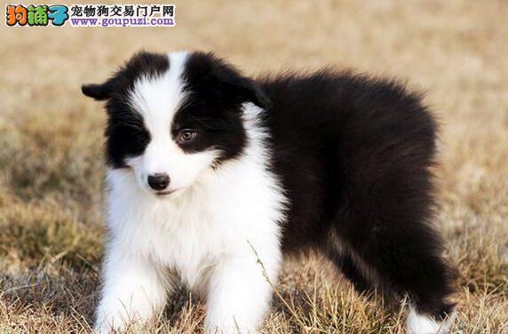 纯种健康的石家庄边境牧羊犬低价出售 七白到位签协议