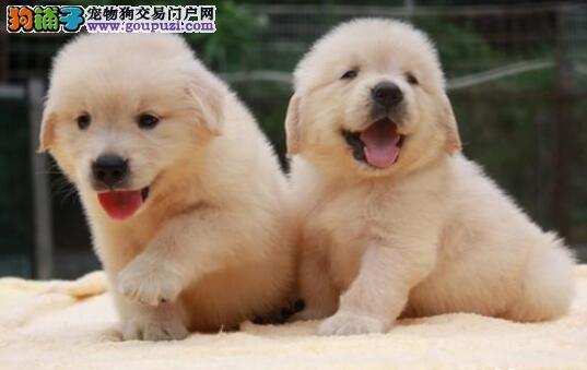 CKU犬舍认证出售高品质北京金毛假一赔万签活体协议