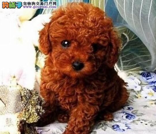 活泼可爱的东莞泰迪犬出售 诚信为本信誉第一2