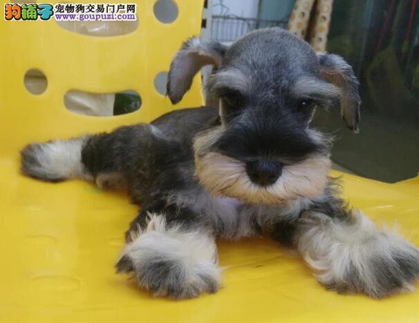 品质优血统纯 黑白、椒盐雪纳瑞幼犬出售不纯包退换