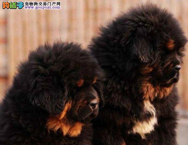 东莞大型犬舍出售高贵气质王者风范的藏獒 纯正血统