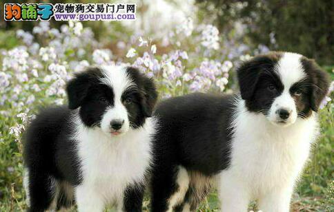 昆明出售纯种边境牧羊犬 边牧犬 签订协议