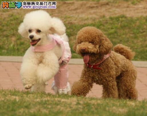 活泼可爱的东莞泰迪犬出售 诚信为本信誉第一3