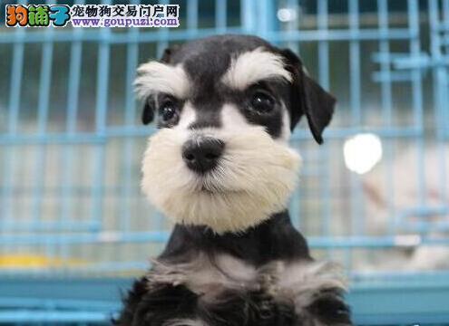 热销纯种椒盐色雪纳瑞幼犬 可来北京上门看狗父母