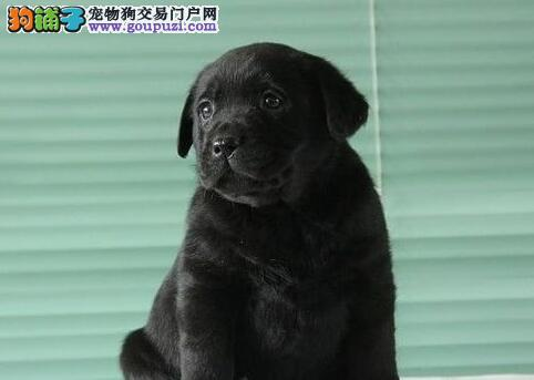 直销精品冠军级拉登血系拉布拉多犬 青岛附件可送货