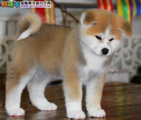 秋田犬出售 哪里出售秋田犬 秋田犬价格多少钱