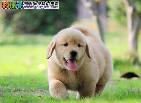 黄金猎犬纯种金毛犬武汉火热开卖 大头宽嘴 签协议书2