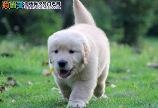 武汉售纯种健康金毛犬幼犬黄金猎犬疫苗驱虫已做
