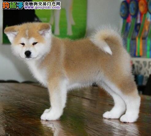 纯种秋田犬宝宝找主人保障品质售后