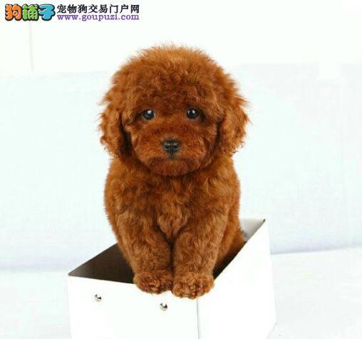 CKU犬舍认证出售高品质郑州泰迪犬上门可见父母3