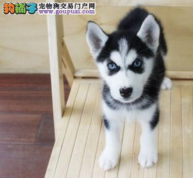 上海西伯利亚哈士奇幼犬出售高品质雪橇犬血统纯
