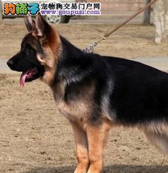 纯种犬繁殖基地出售 德牧幼犬图片