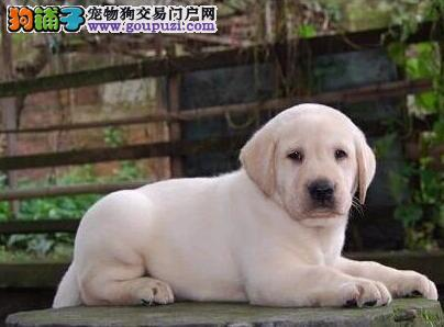 专业繁殖纯种健康高品质拉布拉多幼犬 健康质保 双优发